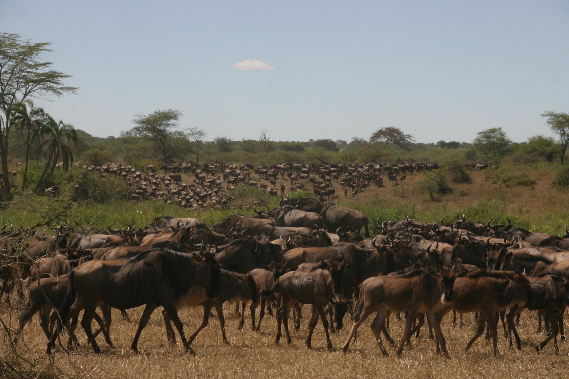 Great Migration Safaris