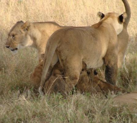 Budget Camping Safari Tanzania - Lions