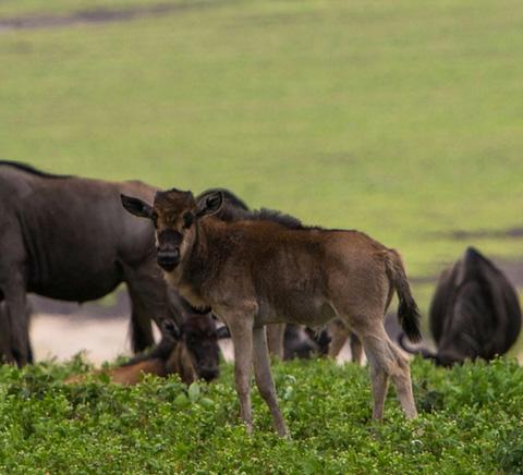 8 Days Incredible Calving Migration Safari