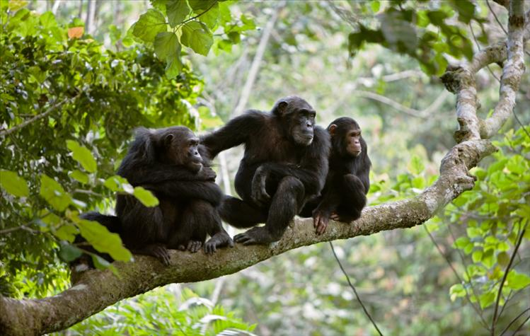 Chimps on a tree at the Mahale Mountains National Park, one of the top Tanzania wildlife parks.