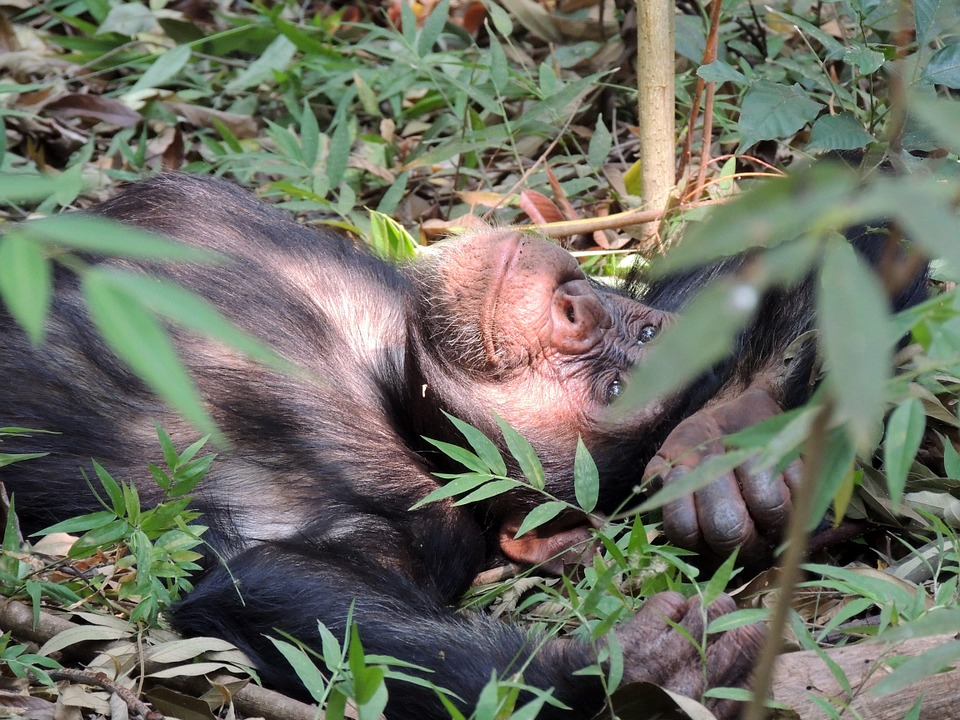 chimpanzee relaxing on the lush green grass of one of the unspoilt Tanzania wildlife parks.