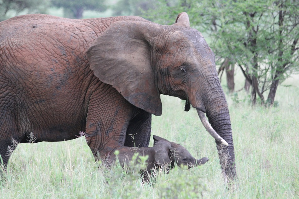 An elephant and its calf walking on the plains of one of the unspoilt Tanzania wildlife parks.