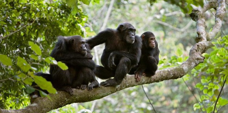 chimps in mahale mountains
