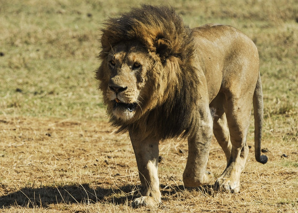 A lion walking on the plains of one of the unspoilt Tanzania wildlife parks.