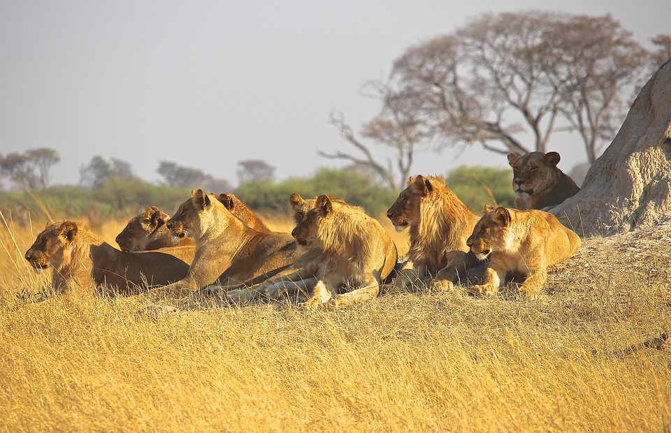 active safaris - pack of lions