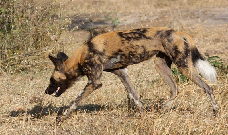 Get to see wild dogs and other endangered Tanzanian wildlife with our Tanzania safari guide.