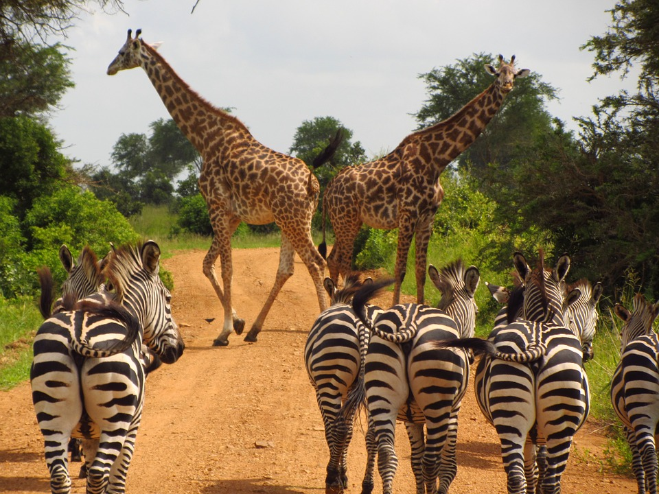 Giraffes and Zebras moving freely in one of the unspoilt Tanzania wildlife parks.