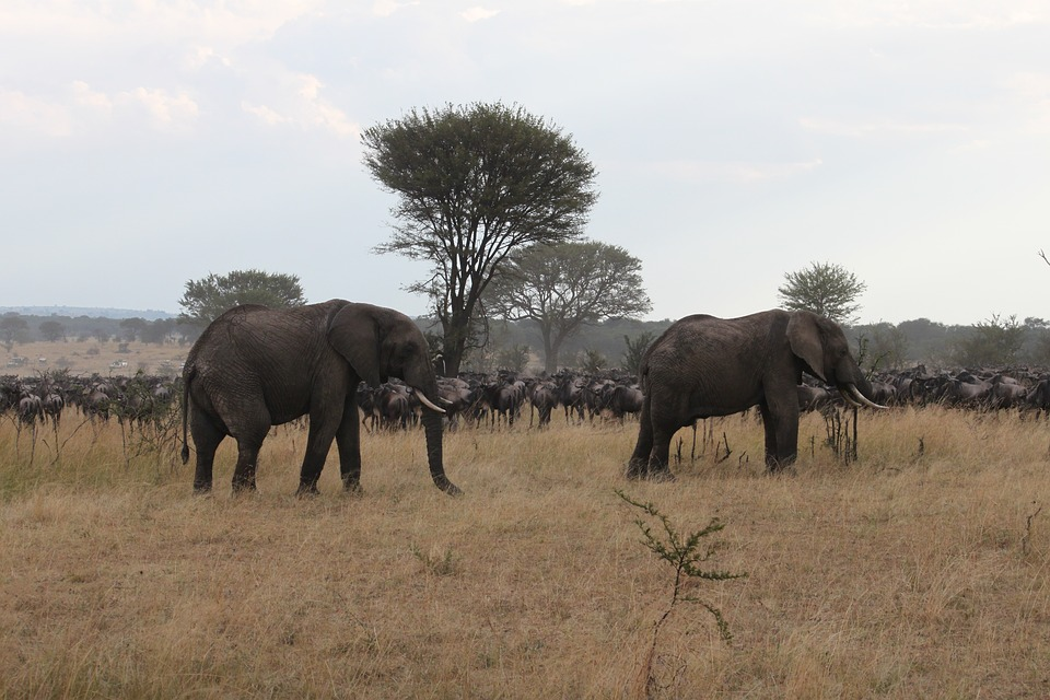 A guide to East Africa Great Migration is needed to see elephants and wildebeests during Serengeti wildebeest migrations.