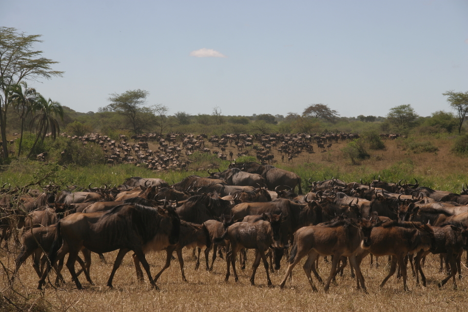 wildebeest migration - Africa experience