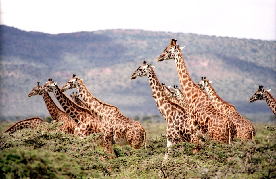 giraffes in africa experience