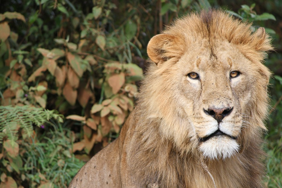 With the best guide to East Africa Great Migration, you can get up close and personal to a lion in Tanzania.