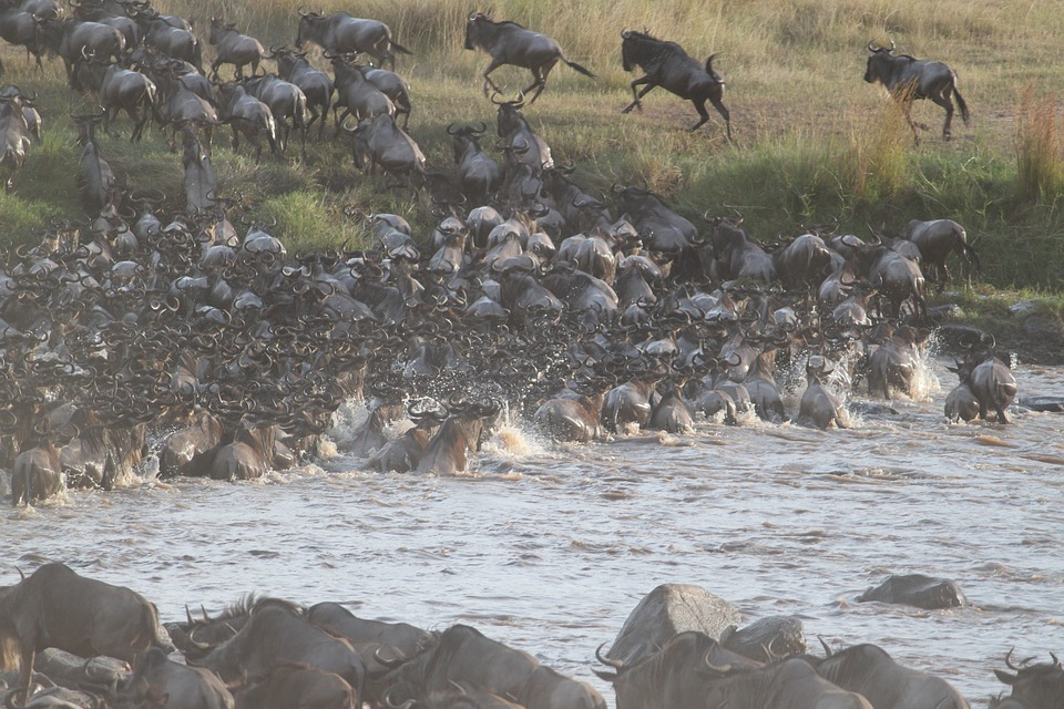 Our guide to East Africa Great Migration will cause you to witness wildebeest migration in Tanzania.