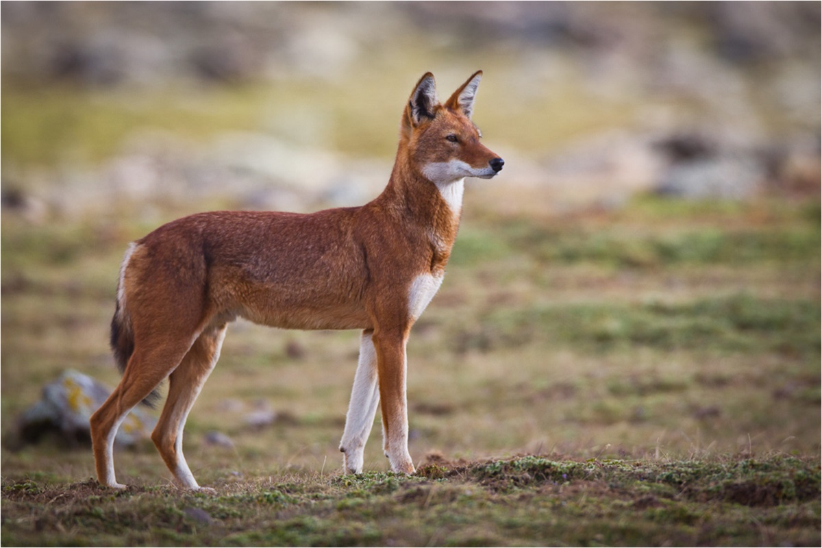 endangered species in Africa - Ethiopian wolf