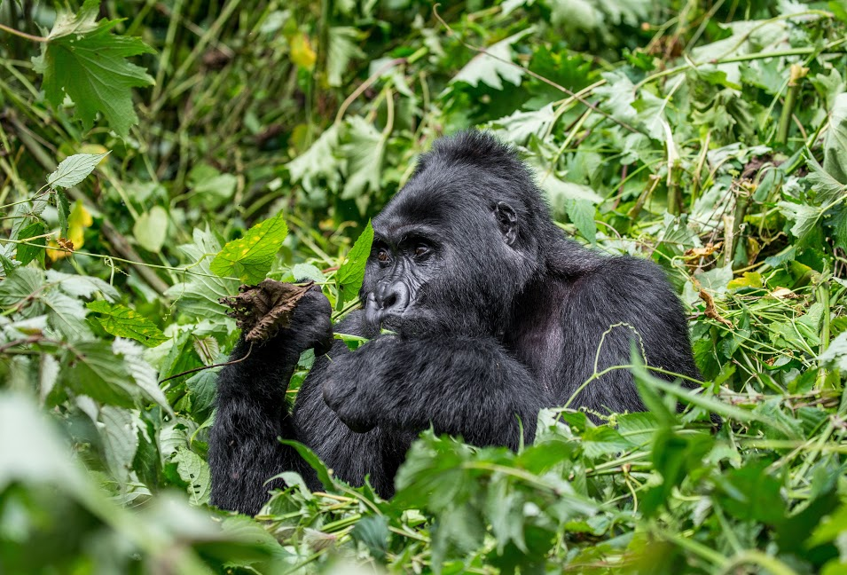 endangered species in Africa - endangered mountain gorilla