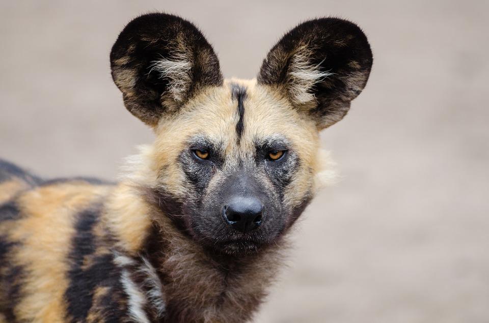 endangered species in Africa - African wild dog