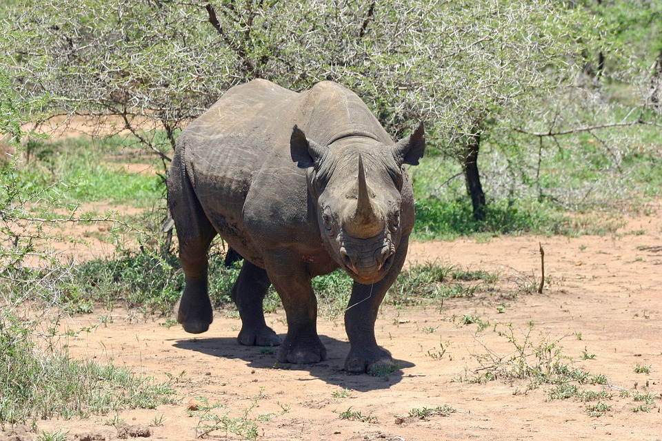 endangered species in Africa - black rhino