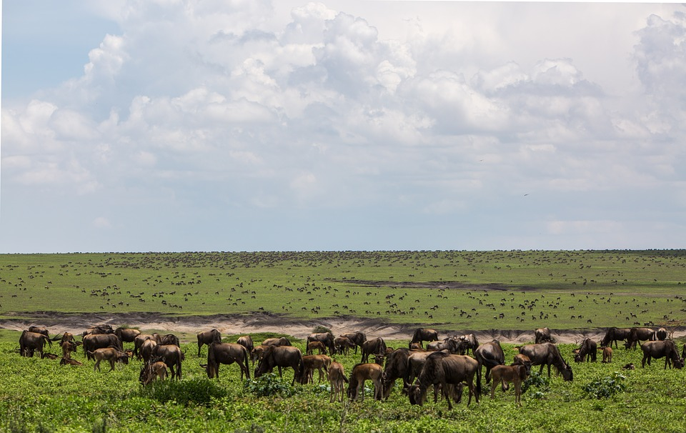 nca wildebeest migration